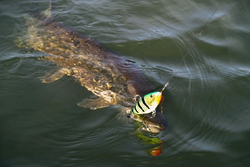 Jerkbaits are used to fish for big pike.