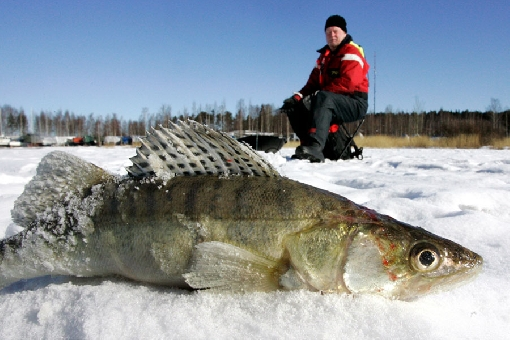 In winter, zander move into River Porvoonjoki and are eager to strike jigging lures close to the bottom.