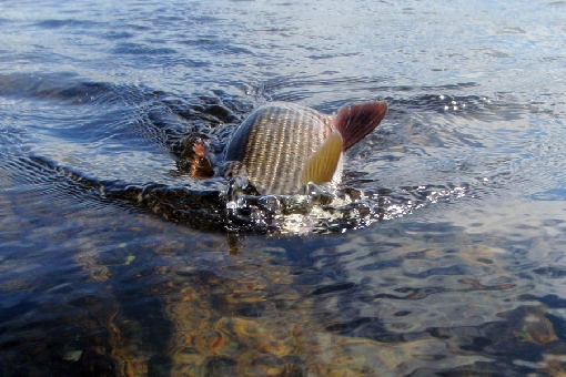 Grayling is a game species on River Ivalojoki.