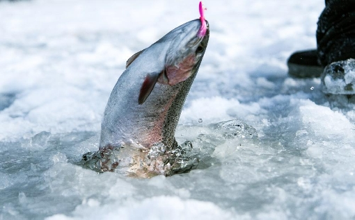 Rainbow trout is a typical catch on Lakes Niemisjärvi.