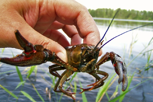 Annual catch of noble crayfish (Astacus astacus) varies from 1 million to 1.5 million pieces.
